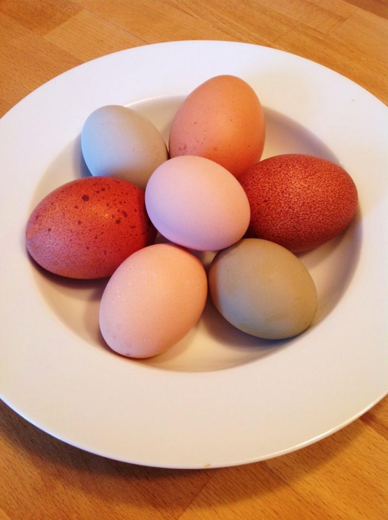 Oeufs de couleurs différentes chez une même poule Photo10