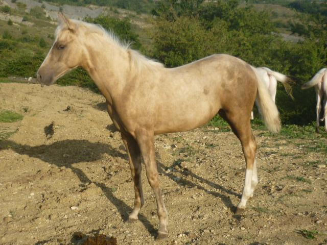 A vendre appaloosa x quarter nommé Cochise Chantana Bren P1060220