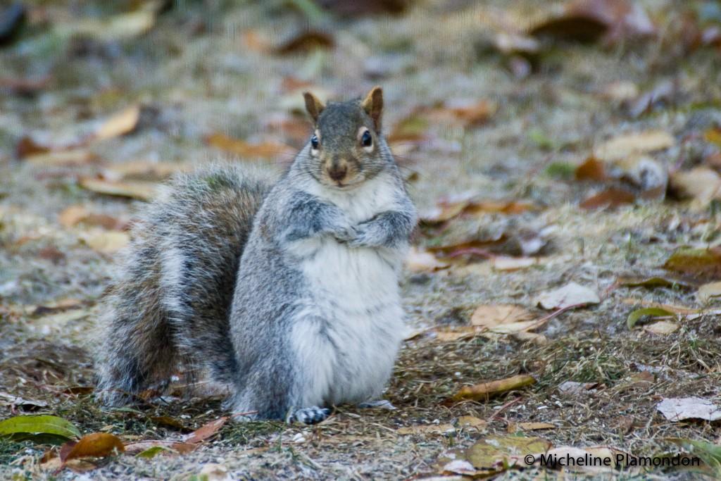 Grésil = écureuil tout mouillé! Acureu11