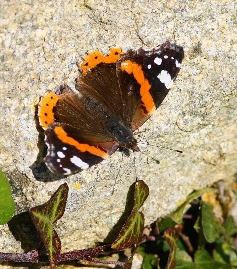 papillons précoces Dsc00411