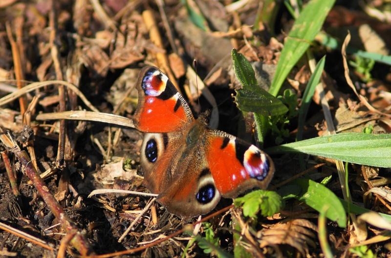 papillons précoces Paon10
