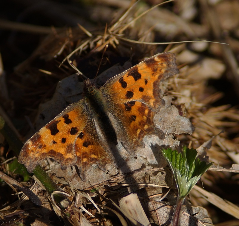 papillons précoces Yep10
