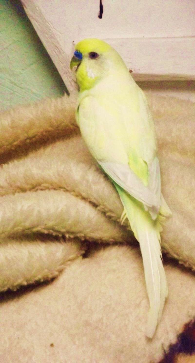 Mes perruches ondulées : Kiwi, Calypso et ..... Dscf8412