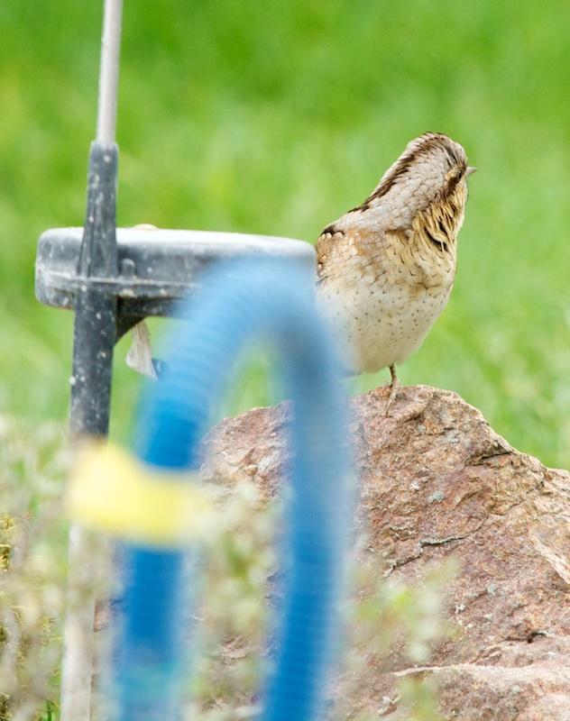 Pour identification (+1  27/4) Bird_110