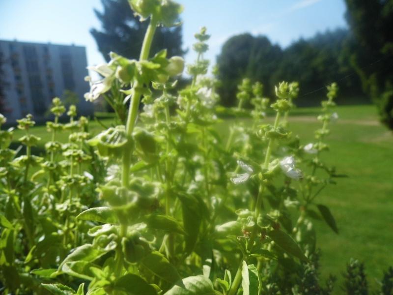 Fiche Réalisation d'une jardinière de fines herbes...  P1040910
