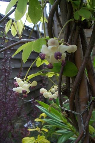 Lardizabalaceae grimpantes Akebia12