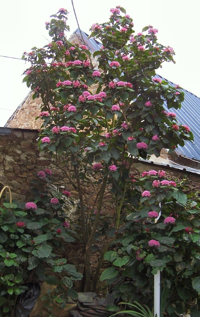 Clerodendrum bungei Clerod10