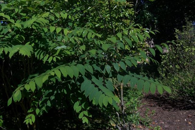 Lardizabalaceae grimpantes Decais11