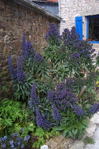 Echium candicans - vipérine de Madère Echium10