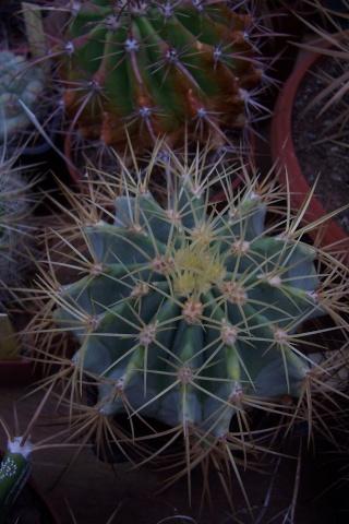 Ferocatus emoryi ou hystrix ? - Cotyledon orbicularis ou Crassula arborescens ssp undulatifolia ? - Mammillaria camptotricha 'Marnier-Lapostolle' (= Dolichothele) Feroca10