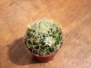 Ferocatus emoryi ou hystrix ? - Cotyledon orbicularis ou Crassula arborescens ssp undulatifolia ? - Mammillaria camptotricha 'Marnier-Lapostolle' (= Dolichothele) Mammil10