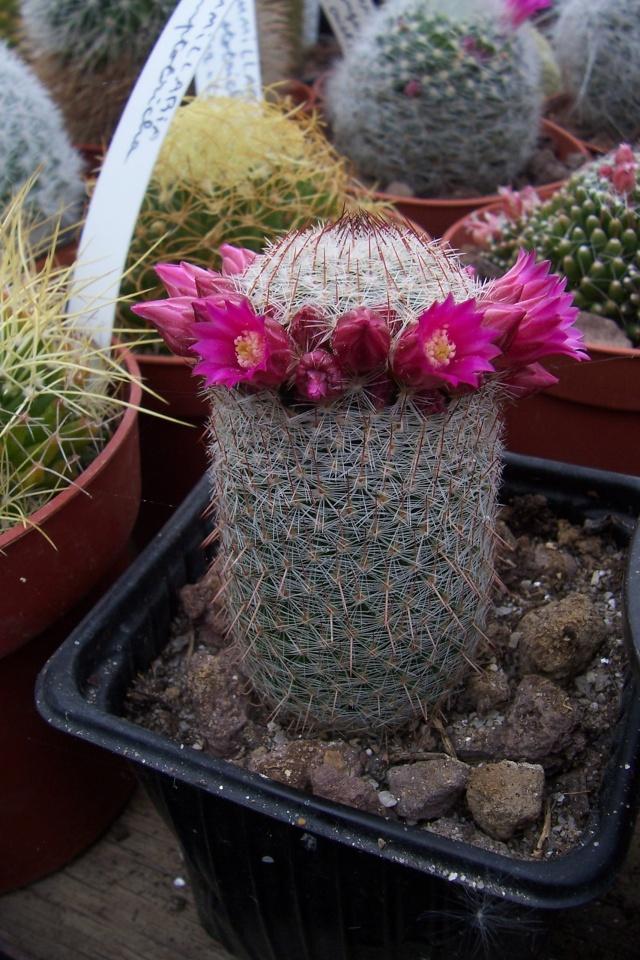 Mammillaria matudae Mammil11