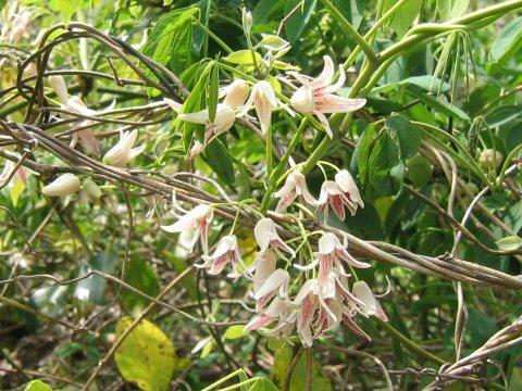 Lardizabalaceae grimpantes Staunt10