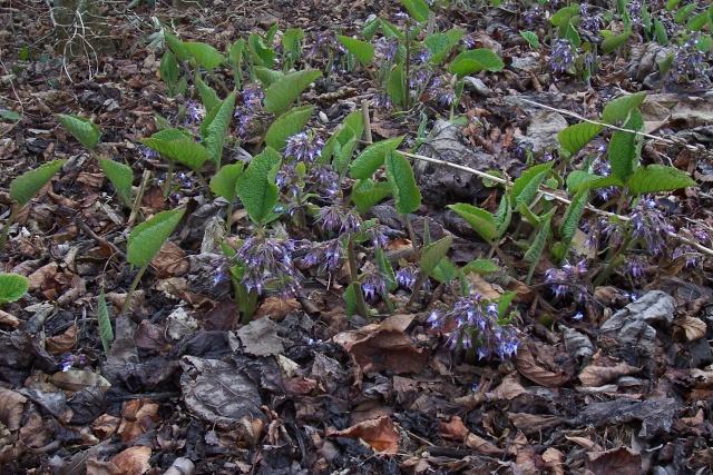 Trachystemon orientalis - bourrache du Caucase  Trachy10