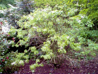 Xanthoceras sorbifolium - Page 2 Xantho10
