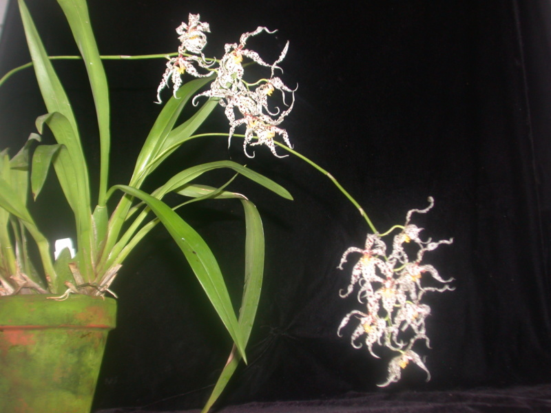 Odontoglossum naevium Odonto11