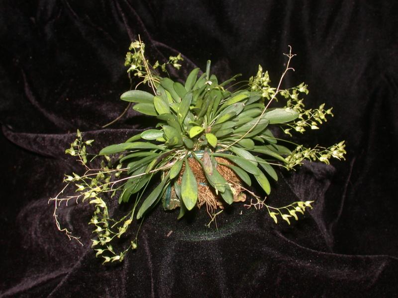 Miniatur-Orchideen Teil 4 - Seite 27 Pleuro12