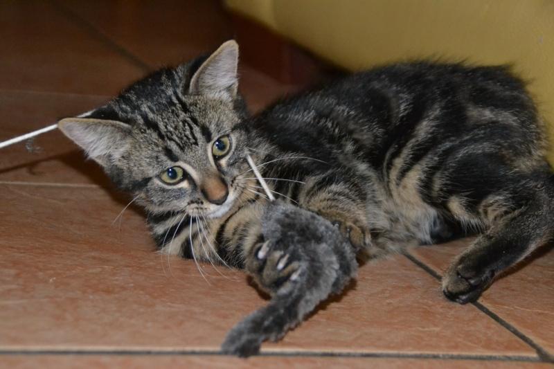 BELEY (chaton mâle tigré) réservé Dsc_2512