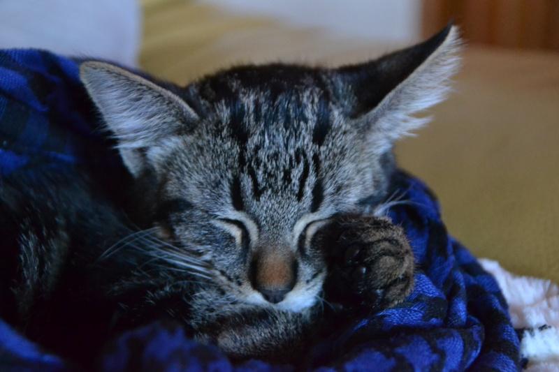 BELEY (chaton mâle tigré) réservé Dsc_2610