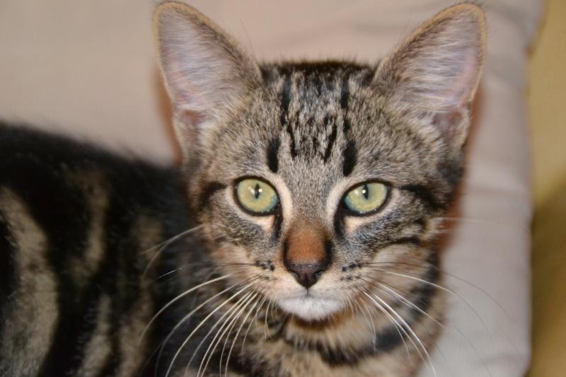 BELEY (chaton mâle tigré) réservé Dsc_2611