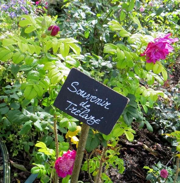 rosier souvenir de trélazé - Page 5 Img_0925