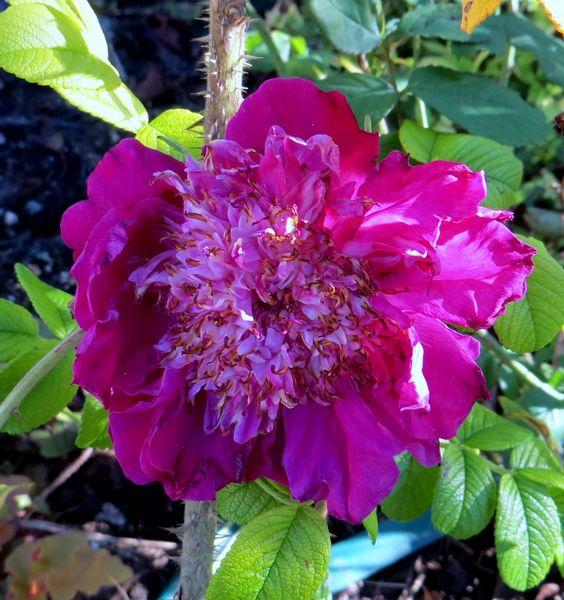 rosier souvenir de trélazé - Page 5 Img_0926