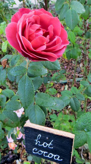 rosa hot cocoa Img_0937