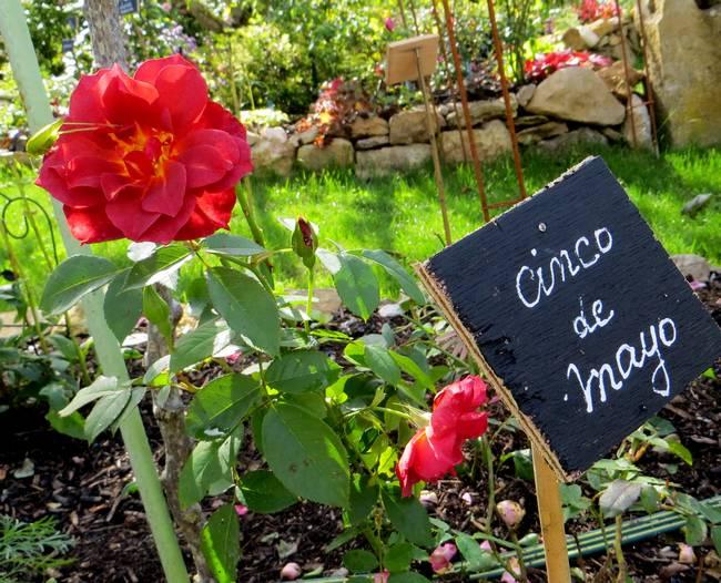 rosa cinco de mayo Img_0951