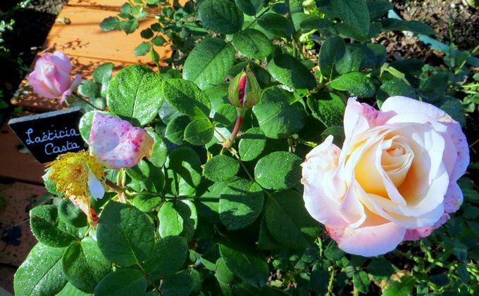 rosae Laéticia Casta Img_0952