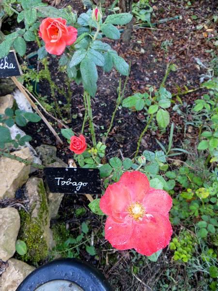 rosier buisson tobago Img_0954