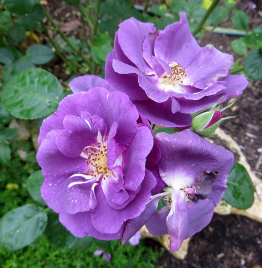 Rosa 'Rhapsodie in blue' !!! - Page 2 Rhapso10