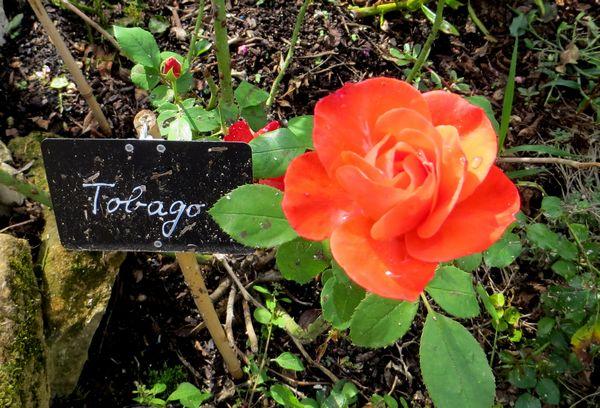 rosier buisson tobago Tobago10