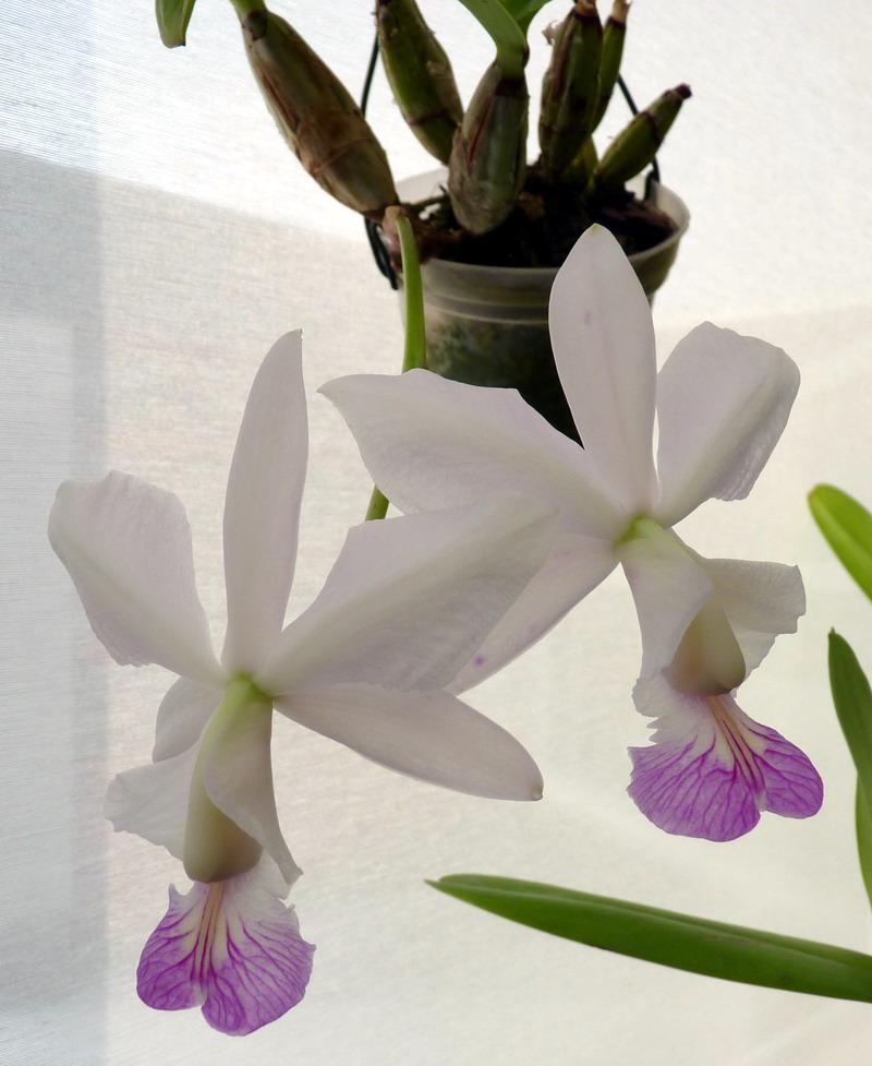 Cattleya nobilior - Seite 2 C_nobi10