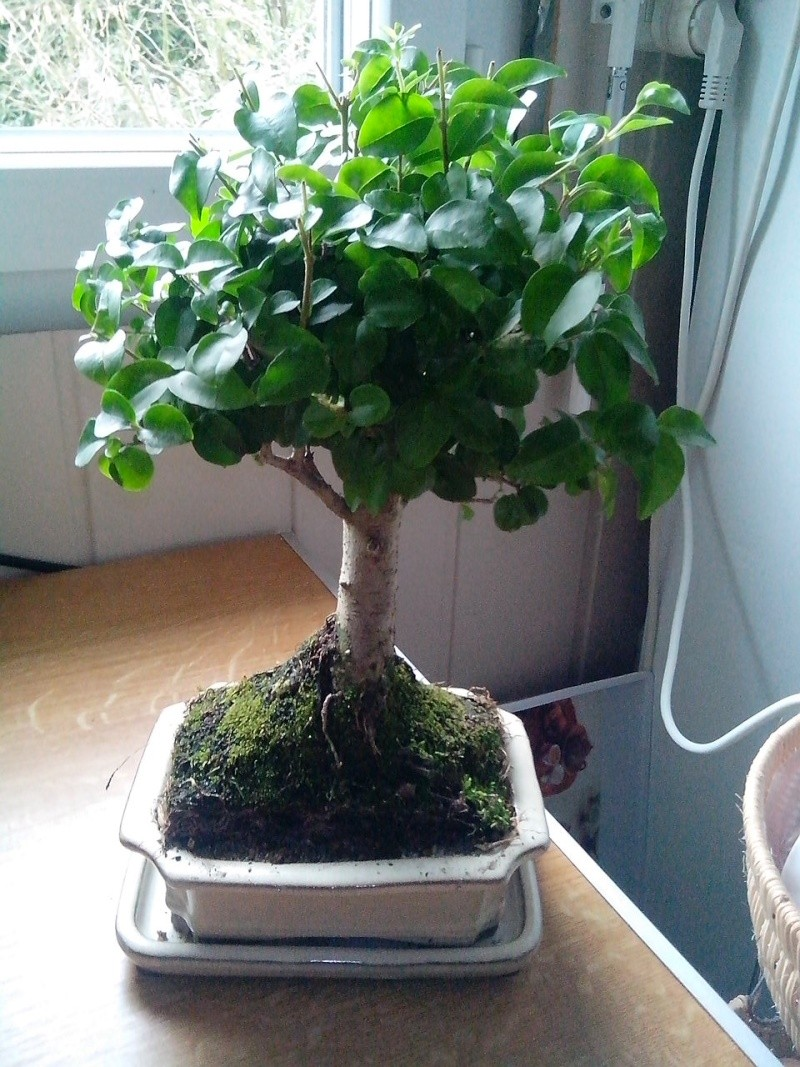Le bonsai  Ligustrum sinense. Img_2012