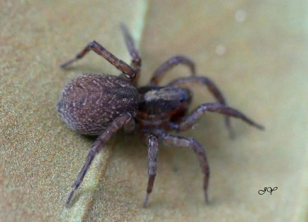 Lycosidae. 13_jui10