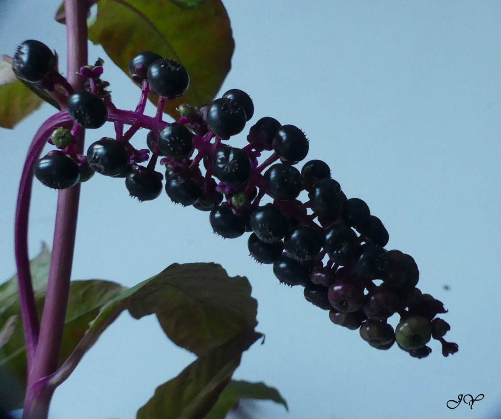 Du raisin : Phytolacca americana 19_sep10