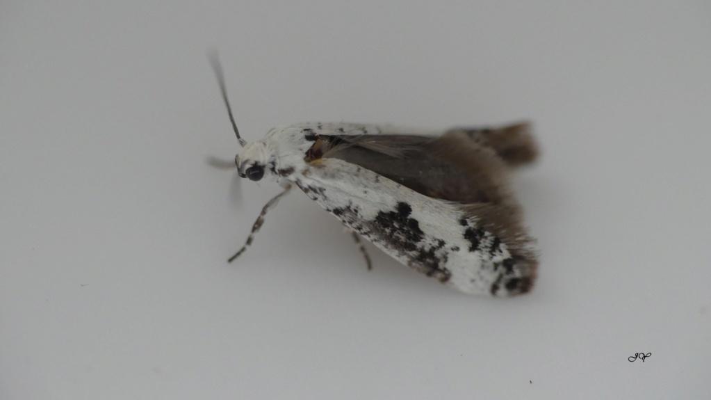 Tout petit papillon : Prays fraxinella 2_juin10
