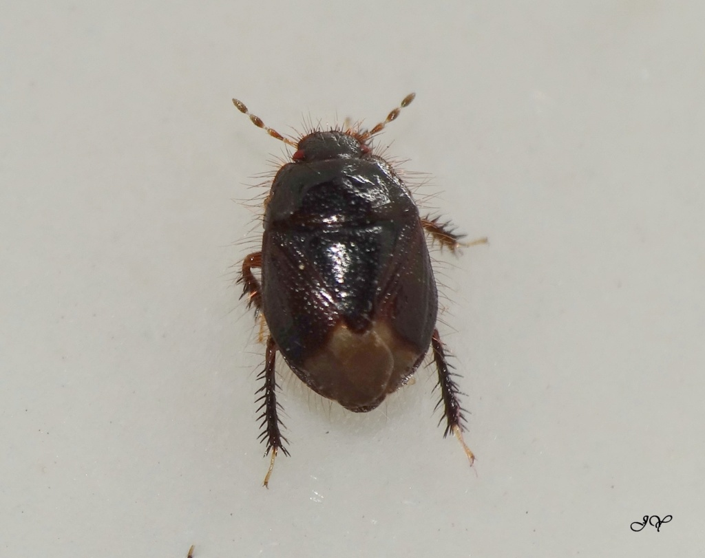 [Geotomus sp.] Cydnidae.  35mm_l10