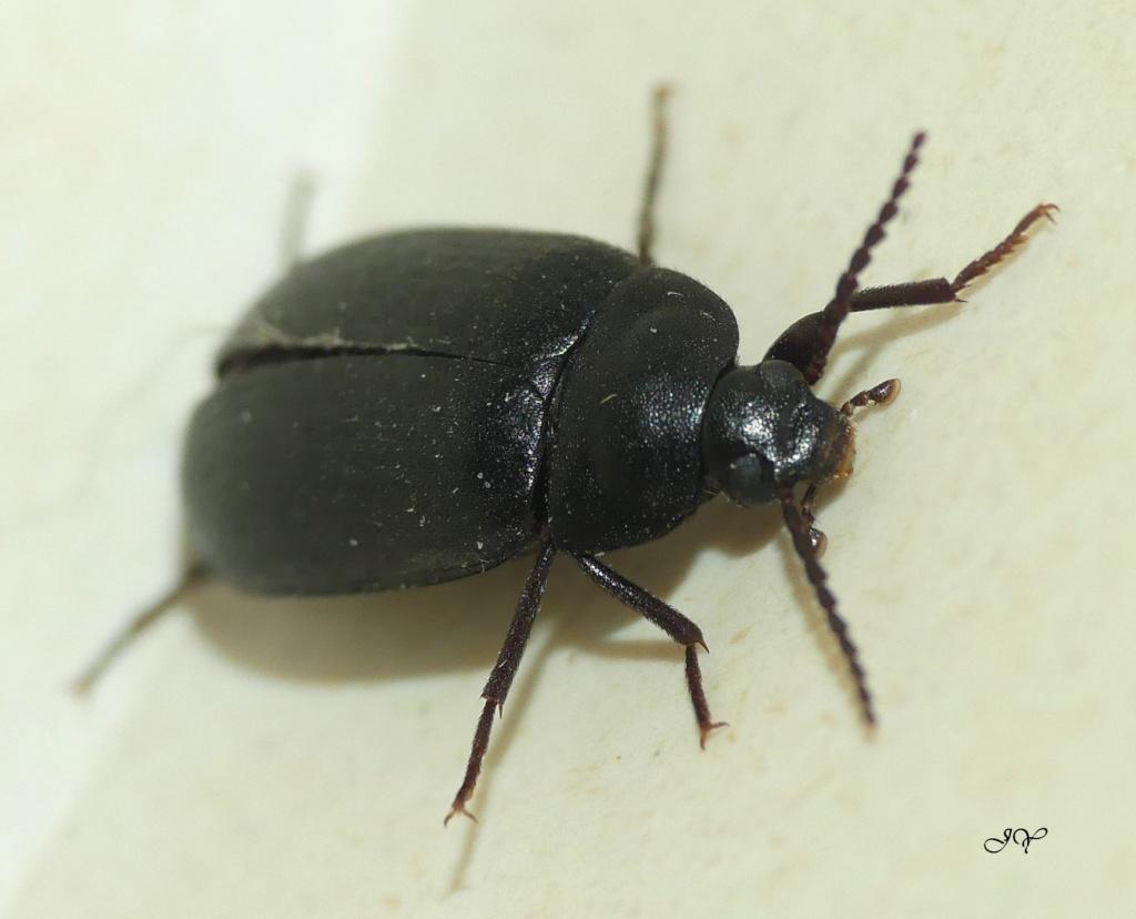 Carabidae. A_id_110