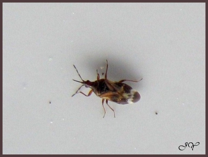 Anthocoris nemorum ? Anthoc10