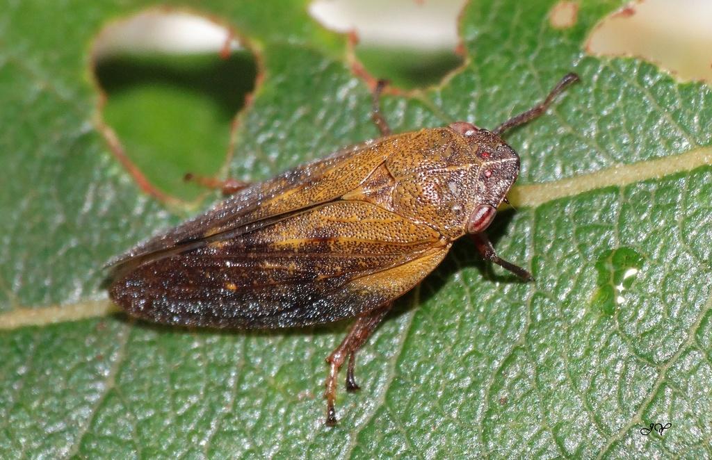 [Cicadelidae sp._Juvénile - Aphrophora pectoralis] Cercopidae ? Avec_l11