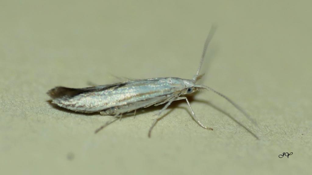 Coleophoridae. Coleop10