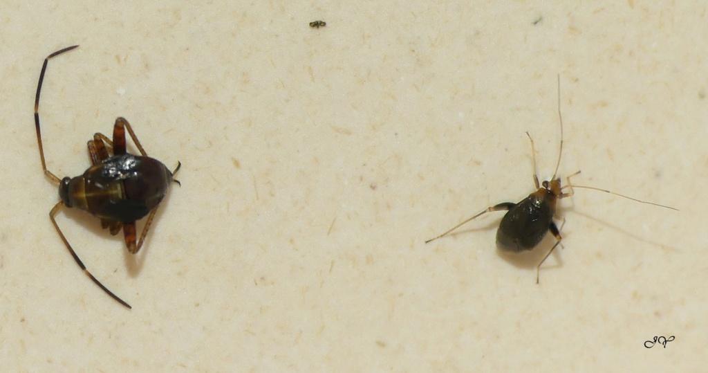 [Halticus luteicollis_Adelphocoris seticornis juvénile] Miridae aux longues antennes. Deux_e10