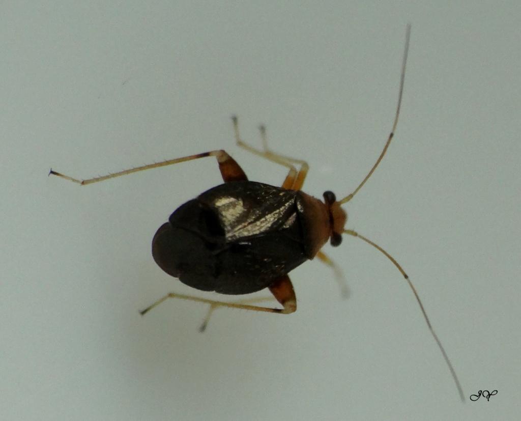 [Halticus luteicollis] Miridae. Haltic10