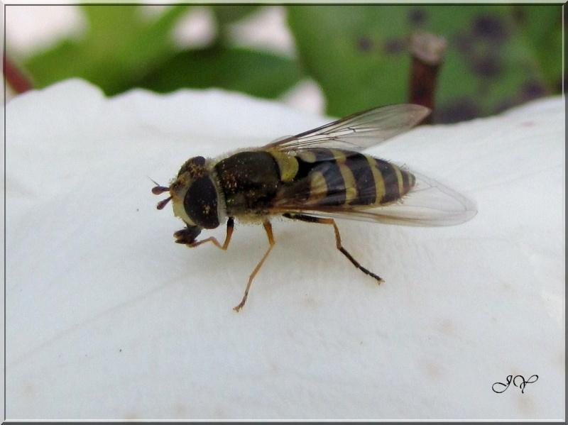 Syrphus vitripennis- Img_7510