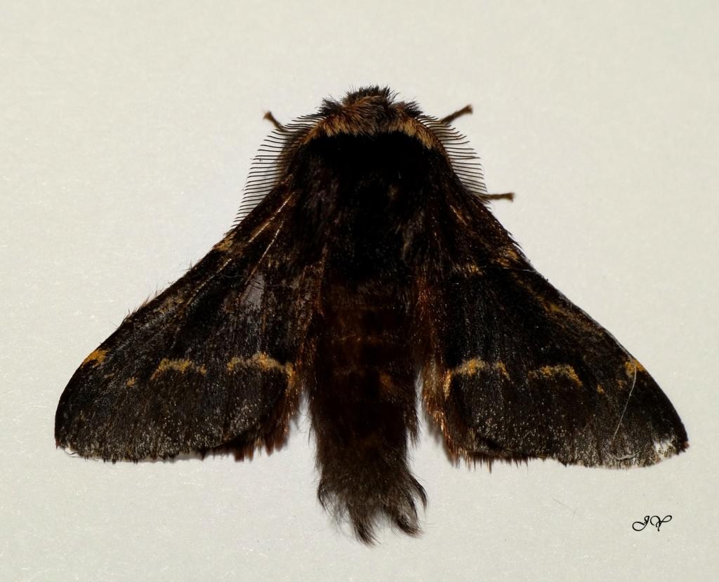 Papillon noir : Poecilocampa populi Le_11_10