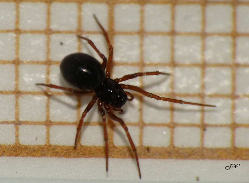 Linyphiidae. Pattes Rouges. Linyph11
