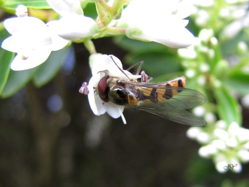 Syrphidae. Melisc10