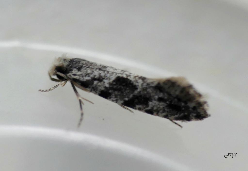 Micropapillon. Minusc10