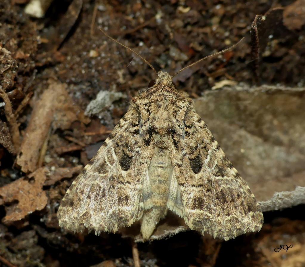 Chenilles de Noctuidae. Noctue12
